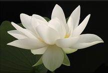 Lotus / Zen, Purity and Awakening