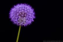 Dandelions / A board dedicated to the beautiful dandelion  / by Greenside Up