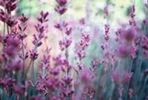 Lavender love / by Greenside Up
