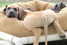 Mastiffs / I LOVE English Mastiffs