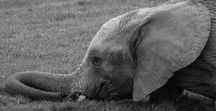 Gentle Giants and Perfect Pachyderms