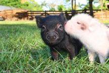 Schweine-Küsschen / Küssende Schweine. Süß!