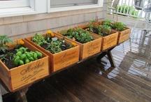 In the Garden: Herbs & Veggies