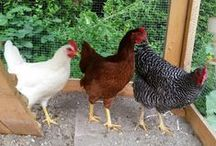 Cluck, cluck, cluck / Ideas and situations that involve chickens