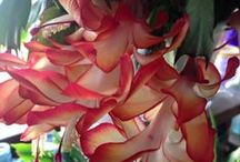 """Digital Christmas Cactus photos / This board showcases some of my digital photos of my """"Christmas Cactus"""" in bloom. All photos are available for purchase and digital download through my Etsy shop, Cactus Geeks."""