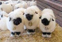 Ba Ba Ba sheep,  have you any wool?  / Sheep