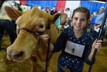 Livestock / Diligence and countless hours pay off for 4H and FFA exhibitors at the Youth Livestock Auction of Champions. Shows and sales offer an array of beef and dairy cattle, sheep, swine, goats, poultry and exotic breeds.