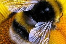 Bees / Honey Bees, Bumble Bees and all kinds of Bees :)