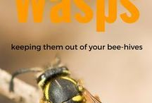 Wasps / All kinds of wasps, Yellow Jackets, Paper wasps its all here.  Get in touch if you want to add some yourself.  We will include pictures and how to trap the wasps that are pests.