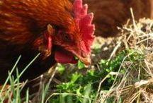 Gardening - Chickens