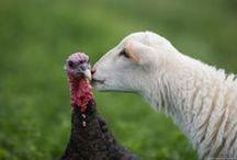 Farm animal. / by Sarah Beaupre