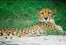 Acinonyx. / Acinonyx jubatus.  Cheetah.