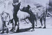 Thylacine - Tasmanischer Tiger