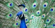 Fashion birds & Peacocks <3 / This board is all about peacocks and fashionable birds :)  #peacock #fashionbird #colourfulbirds