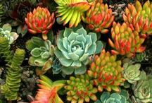 Succulents / Just beautiful