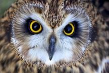 Owl / Baykuş / by Abdulkadir