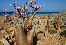Socotra Island - suddenly obsessed