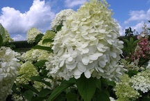 Shrubs that flower / These shrubs will give you some bloom time in your landscape or garden. Many of these blooms do well as cut flowers in a vase in the house. / by Viola Nursery and Greenhouse