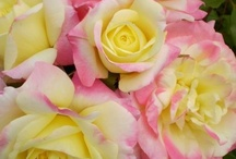 Roses / Todays roses are so much easier to grow than those of the past. This board shows you many of the same roses that I grow, sell and use in my landscape designs. Give these new rose varieties a try. / by Viola Nursery and Greenhouse