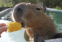 Capybara Cuteness / Capybara Pins. In Germany they are call es Wasserschweine (Water pigs)