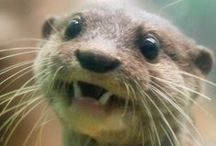 Otter Obsession