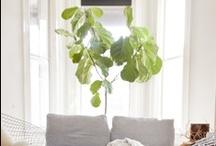 add to urban gardening board - A fig leaf Tree
