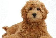 Dog Breed - Doodle / Goldendoodle, Labradoodle, Bermadoodle, Sheepadoo - The Wonderful World of Doodles