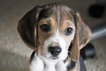 Dog Breed - Beagle / The sweetest of all the hounds! Beagles