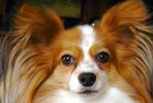 Dog Breed - Papillon / The Papillon is one of those breeds that you just say 'awwww' every time you see one!