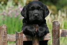 Dog Breed - Labrador Retriever / A board exclusively dedicated to those loyal, lovable Labradors