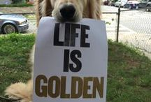 Dog Breed - Golden Retriever / Golden Retrievers have to be one of the best dog's on the planet - so I created a board exclusively for them!