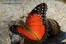 Thailand Butterfly / The Butterflies in Thailand are both numerous and Amazing
