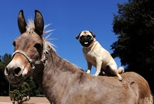 ~ Pugs ~ / ~Pugs ~ because you can't bring donkeys in the house!~ / by Clementine