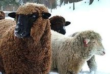 zed Loves Sheep / zed handmade uses 100% Peruvian highland wool for scarves, cowls and felted bowls.  zed loves sheep!