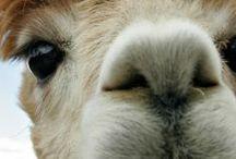 zed Loves Alpacas