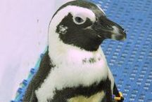 Penguins / There are more than 80 African, rockhopper and little blue penguins living at the New England Aquarium. The Aquarium is part of the Species Survival Plan for African penguins.