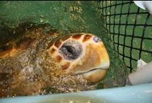 Sea Turtle Rescue / We rescue and rehabilitate stranded, injured and diseased sea turtles that were rescued from Cape Cod Bay.