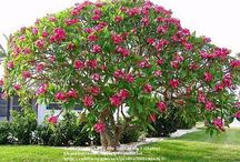PLUMERIA  /  Plumeria are beautiful landscape plants that would enhance any landscape. The flowers are beautiful and come in a range of colors. / by Ahmed Alshehhi