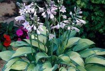 Gardening - Hostas / Hostas / by Donna Moore