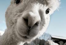 Alpaca vs Llama / by Ashley ♥ Breen
