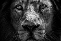 Lion ❖