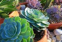 S- ❤ Passionate About Succulents ❤ / A place to appreciate Succulents; Diverse plants; drought tolerant; most of all like plant children, each one is special. Wiki: https://en.wikipedia.org/wiki/Succulent_plant / by Muddy Paws Art Studio 🎨