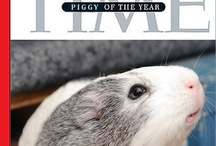 """Animals - Cavies / I've had guinea pigs, aka cavies, since I was 8 years old. This board is an effort to dispel the myth among some that these are """"dumb animals,"""" as well as provide a source of information and humor for all fellow piggy lovers. / by Jennifer Donatelli"""