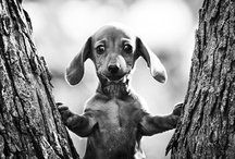 Dachshund Love / by Desiree Ros