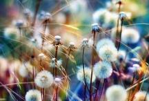 Dandelion/Birthday/Wishes