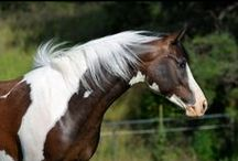 wonderfully colored Arabians! / by Stephanie Blaylock