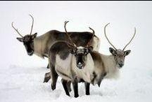 Reindeer / Reindeer - Caribou - Hreindýr / by Guðfinna Harpa Árnadóttir