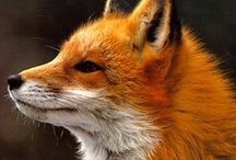 fox / by finch