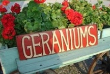 Geraniums / A summer flower that blooms no matter what the weather! I use them everywhere. From Memorial Day to Labor Day they are perfect for that Red, White and Blue decor. So have fun decorating and coming up with new ideas! / by Deborah Nichols