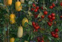 Jardins et potagers urbains / Faire pousser ses légumes, fines herbes, fruits, pousses et plantes... c'est possible même dans un condo avec un petit balcon ou simplement un bord de fenêtre. Trucs et conseils pour jardins et potagers urbains.